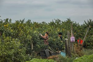Cheng,-Zhu---China-(dayangclub61@163.com)---Oranges-Harvest1