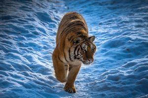 Chongfeng,-Wu---China-(dayangclub80@163.com)---Tigers-Play1