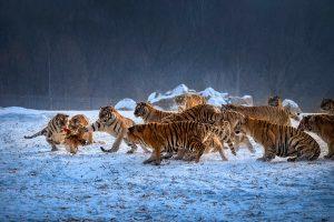 Chongfeng,-Wu---China-(dayangclub80@163.com)---Tigers-Play10