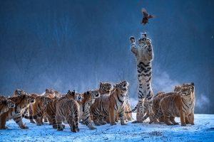 Chongfeng,-Wu---China-(dayangclub80@163.com)---Tigers-Play2