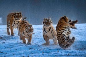 Chongfeng,-Wu---China-(dayangclub80@163.com)---Tigers-Play3