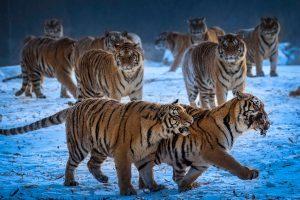 Chongfeng,-Wu---China-(dayangclub80@163.com)---Tigers-Play4