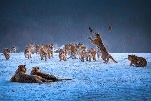 Chongfeng,-Wu---China-(dayangclub80@163.com)---Tigers-Play5
