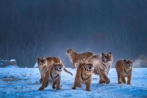 Chongfeng,-Wu---China-(dayangclub80@163.com)---Tigers-Play6