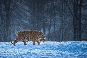 Chongfeng,-Wu---China-(dayangclub80@163.com)---Tigers-Play7