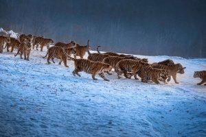 Chongfeng,-Wu---China-(dayangclub80@163.com)---Tigers-Play8