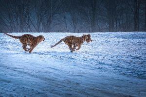 Chongfeng,-Wu---China-(dayangclub80@163.com)---Tigers-Play9
