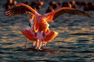 Jing,-Li---China-(dayangclub8@163.com)---Flamingo-1