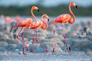Jing,-Li---China-(dayangclub8@163.com)---Flamingos-21