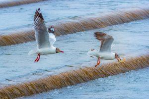 Yanping,-Qiu---China-(dayangclub78@163.com)---Sand-Gull-And-Yellow-Croaker1