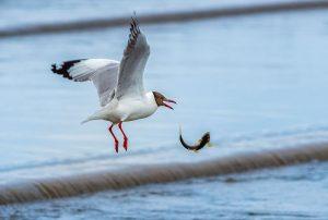 Yanping,-Qiu---China-(dayangclub78@163.com)---Sand-Gull-And-Yellow-Croaker2