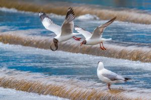 Yanping,-Qiu---China-(dayangclub78@163.com)---Sand-Gull-And-Yellow-Croaker4