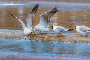 Yanping,-Qiu---China-(dayangclub78@163.com)---Sand-Gull-And-Yellow-Croaker5