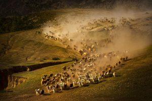 Yu,-Zhang---China-(dayangclub76@163.com)---Herds4