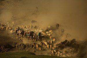 Yu,-Zhang---China-(dayangclub76@163.com)---Herds8